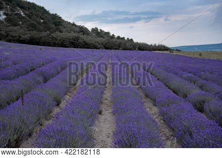 Lavender Flower Blooming Scented Fields In Endless Rows. Selective Focus On Bushes Of Lavender Purpl