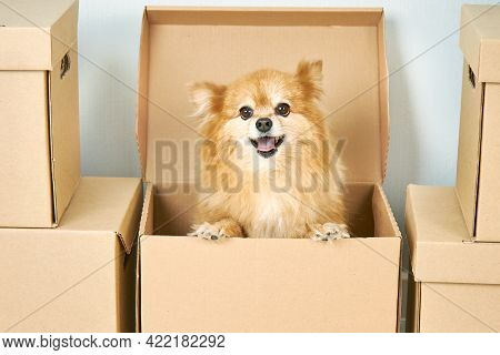 .animals, Relocation And Moving Concept. A Small Purebred Dog Poses In A Cardboard Box, Changes Its