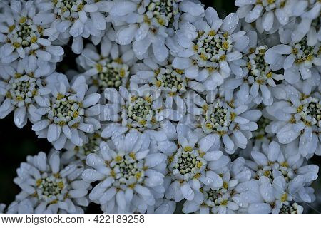 Beautiful Closeup Top View Of Hydrophobic Tiny White Candytuft (iberis) Flowers With Water Drops And