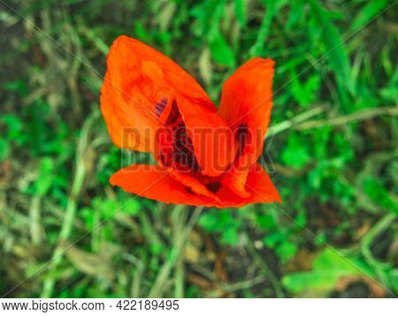 The Closeup Of The Beutiful Red Poppy Flower In The Grass. The Spring Or Summer Background. The Conc