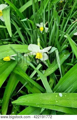 Beautiful Background Made With Young Green Leaves And Bright Narcissus Flower