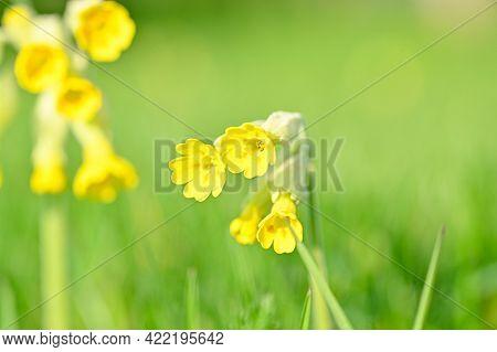 Cowslip Flowers In Lawn Hallabrottet Kumla Sweden