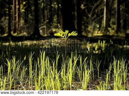 Summer Nature With Grass And Outstanding Tall Plant With Leaves, Illuminating From Daylight.