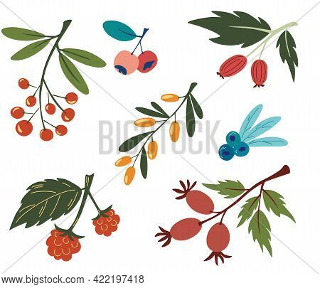 Collection With Colorful Doodle Berry Branches And Leaves. Buckthorn, Blueberry, Rosehip, Currant, R