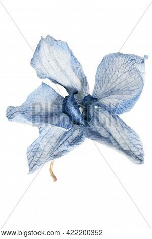 Blue Sear Orchid Flower Isolated Over White