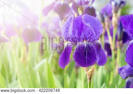 Purple Bearded Iris Against The Background Of Blooming Violet And Blue Flowers In The Field. Blossom