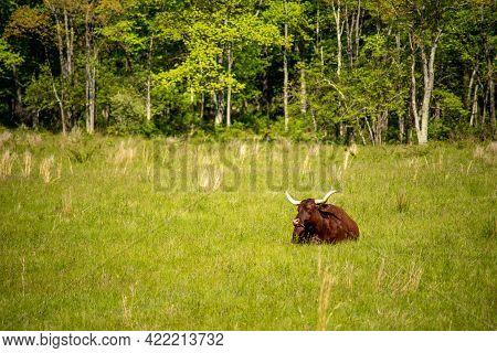 Beautiful Big Longhorn Cattle Steer Rests In An Idyllic Sunny Field Of Tall Grass. Woods Line The Ba