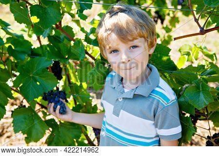 Smiling Happy Blond Kid Boy Picking Ripe Blue Grapes On Grapevine. Child Helping With Harvest. Amous