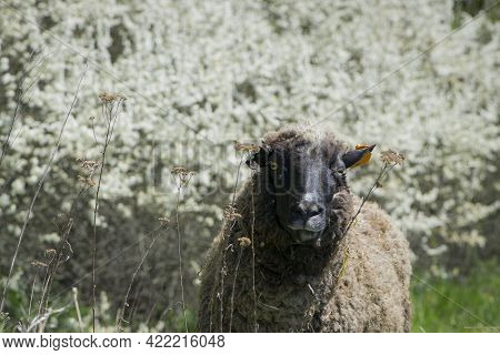 An Up Close View Of A Sheep Head. Front View Looking At The Camera. Sheep In The Pasture. Home Anima
