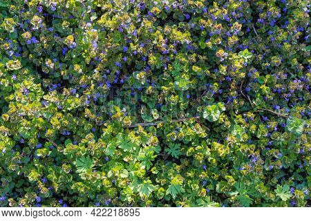 Flowering Glechoma Hederacea, Also Known As Ground Ivy Or Creeping Charlie With Tiny Blue Flowers Am