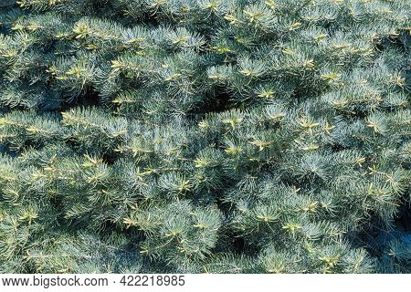 Fragment Of Crown Of A White Fir Tree With Young Shoots On Branches In Springtime, Background, Textu