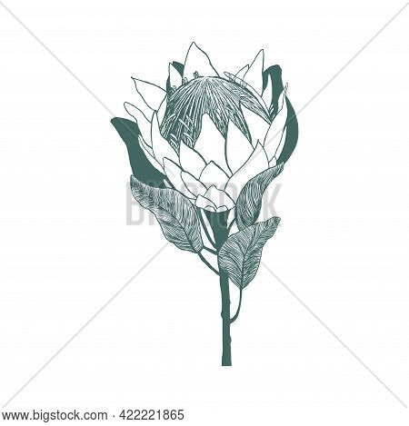 Hand Drawn King Protea Flower. Floral Botanical Element. Isolated Illustration On White Background.