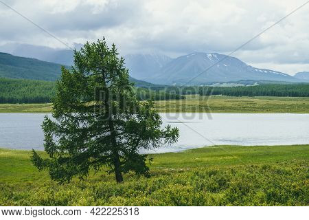 Scenic Alpine Landscape With Lonely Beautiful Larch Among Grasses And Flowers In Sunlight On Backgro