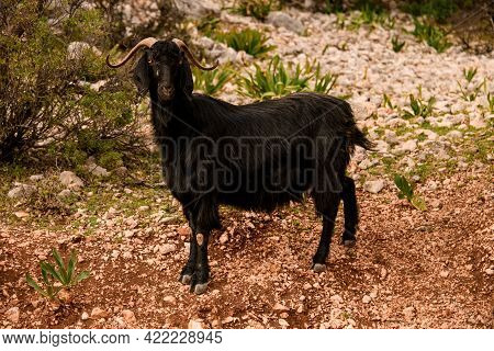 Cute Black Hairy Goat With Nice Curled Horns