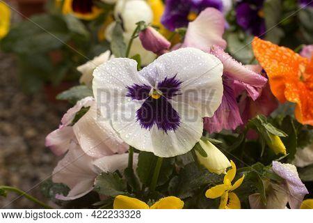 Viola Wittrockiana Pansy Tricolor Viola Cornuta Altaica With Dew Drops