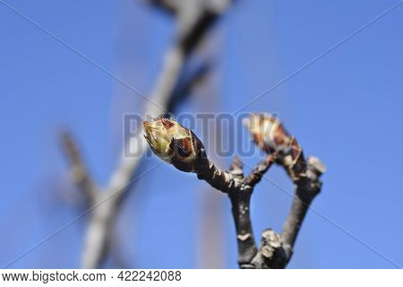 Japanese Pear Branch With Buds - Latin Name - Pyrus Pyrifolia