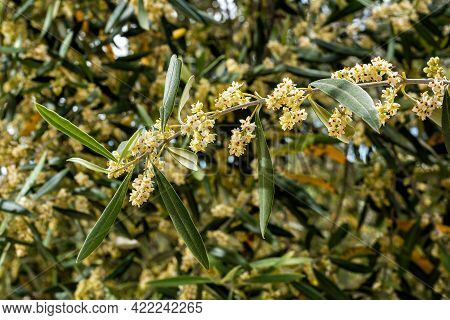 Close Up Of An Olive Branch In Spring In The Flowering Period. Traditional Agriculture.