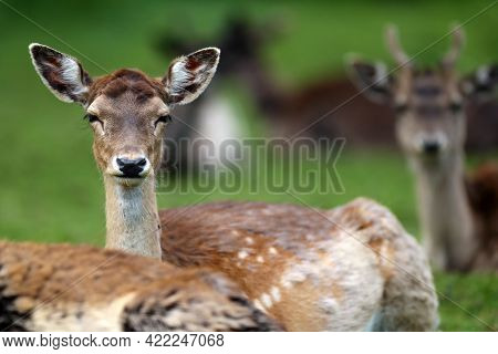 The Fallow Deer (dama Dama), Portrait Of A Female With A Green Background And Other Deer In The Back