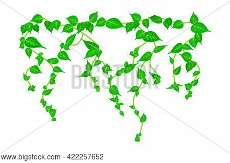 Ivy Vine Branch Isolated On White Background. Vine Plant. Green Hanging Vine With Leaves. Spring Or