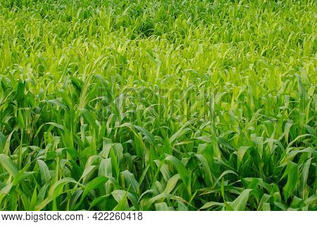 Young Maize Field,corn Field In Early Morning Light.