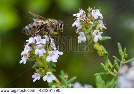 Bee Pollinates Thyme Flowers On Green Blurred Background
