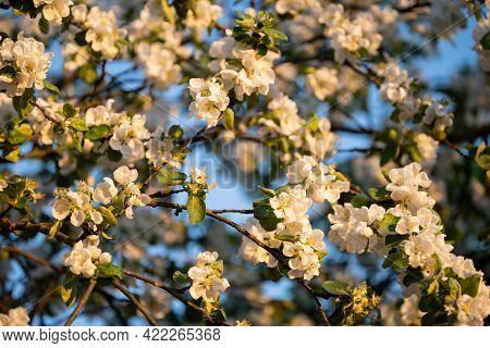 White Apple Flowers, In Spring, Flowering Tree