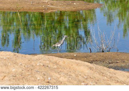The Sandpiper Bird Wanders Along The Sandy Spit Of The Volga River. The Common Greenshank (tringa Ne
