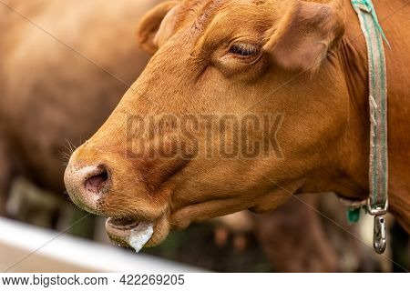 Cow Head. Drooling From The Mouth Of A Cow. The Cow Hums.