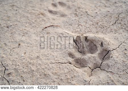 Close Up Of Dog Paw Print On Dry Ground,sand With Cracks Top View,macro Photo.texture Of Natural Bac