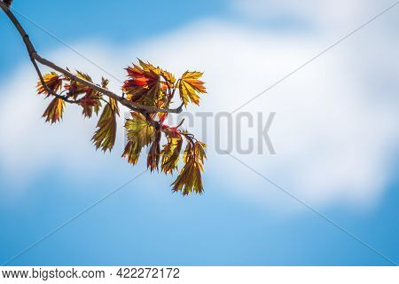 Spring Branches Of Maple Tree With Fresh Green Leaves On A Background Of Blue Sky. Spring Leaves And