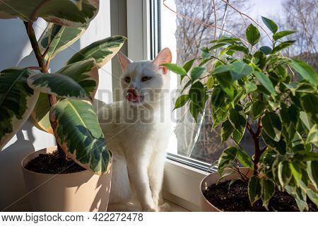 An Adult White Cat Sits Between The Flower Pots And Licks Its Face. Cat On The Window On A Sunny Day