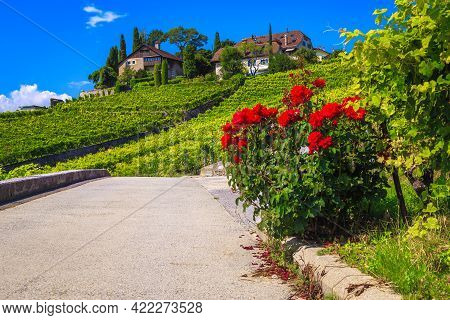 Famous Orderly Terraced Vineyards In Rivaz. Green Vineyards And Vine Plantations With Cute Houses On