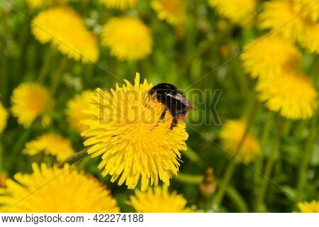 Shaggy Bumblebee Collects Nectar Sitting On A Bright Yellow Dandelion In Spring, Collecting Nectar,