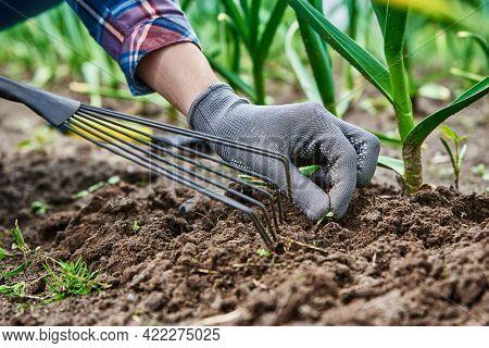 Gardener In Gloves Weeding Onion In Backyard Garden With Rake. Garden Work And Plant Care. Farmer Ga