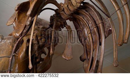 Mammoth Bones. Mammoth Bones In The Museum.
