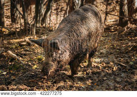 Belarus. Wild Boar Or Sus Scrofa, Also Known As The Wild Swine, Eurasian Wild Pig Sniffing Mud In Au