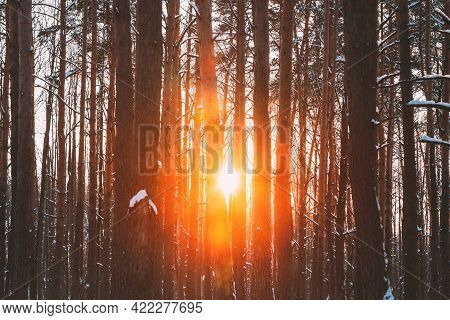 Sun Sunshine Sunlight Through Frosted Pine Trees Trunks In Winter Snowy Coniferous Forest Landscape.