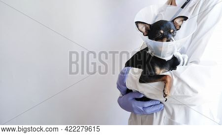 Veterinarian In White Medical Coat And Blue Gloves Holds Small Black Toy Terrier Dog In Medical Coll