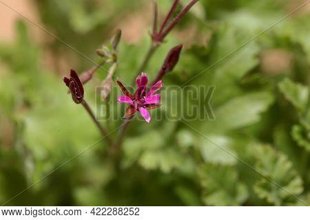 Flower Of The Geranium Species, Pelargonium Aspedifolium