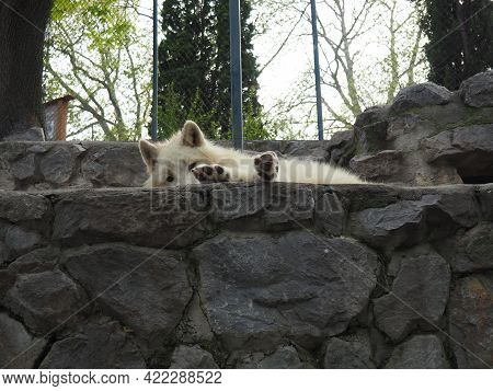 The White Wolf Is Resting On The Stones. The Wolf Stretched Out His Body And Legs On The Rock. White