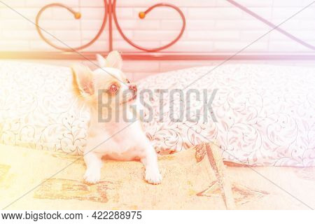 Beautiful Little Chihuahua Dog Is Lying On The Bed And Relaxing At Home. Chihuahua Is Lying On Bed.