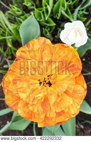 Orange Tulip Flower Head Top View. Huge Variegated Terry Bud.