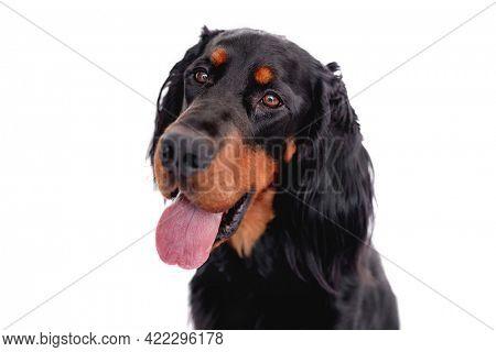 Muzzle of scottish setter dog with tongue out isolated on white background. Doggy portrait