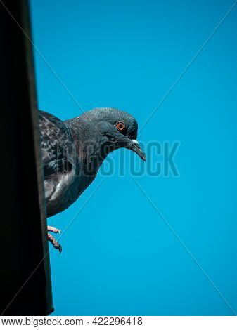 A Blue Pigeon Sits On The Roof And Watches Intently, Against The Blue Sky. Space For Your Text.