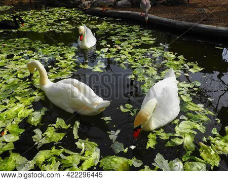 White Swan In The Water. White Swans In A Pond Eating Cabbage And Green Lettuce. Birds In The Zoo.