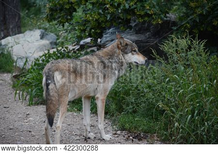 Summer Capture Of An Adult Timber Wolf Surveying His Habitat At The International Wolf Center In Nor
