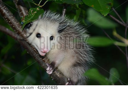 Expressive Summer Closeup Of A Young Opossum Clinging Tightly To A Cherry Tree Branch.