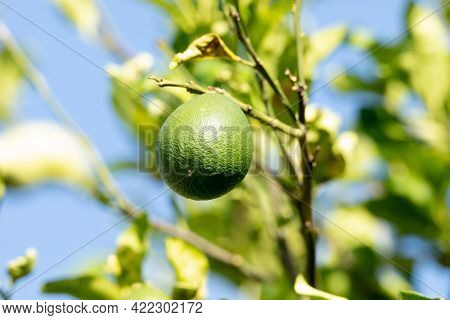 Green Avocado Tree Fruit Persea Americana Miller Growing In Naples, Florida