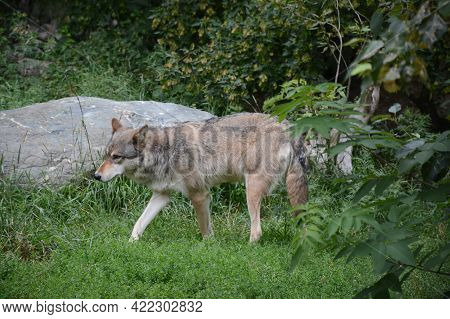 Summer Capture Of An Adult Timber Wolf Roaming Thru A Woodland Opening, At The International Wolf Ce