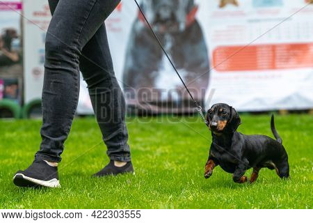 Obedient Dachshund Puppy On A Leash Runs With Handler On Green Grass Participating In Competitions D